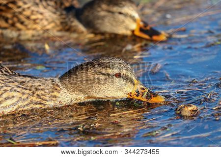Two Female Mallard Ducks Dabbling For Food
