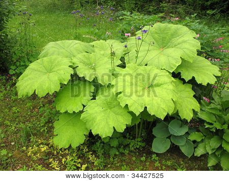 Astilboides (Astilboides tabularis) on the shady flower bed