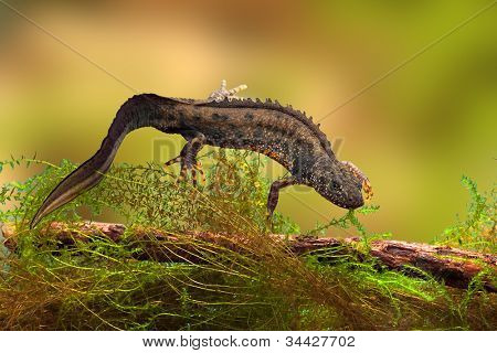 great crested newt or water dragon in fresh water pond endangered and protected species. Nature conservation animal,breeding male poster