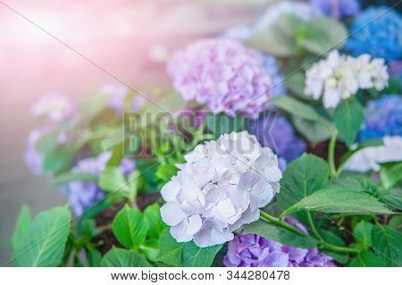 Multi-colored Hydrangea Flowers. Hydrangea Macrophylla In The Garden.