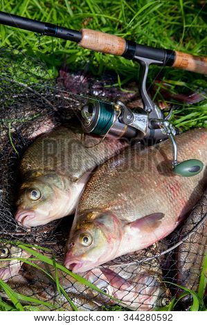 Two Big Freshwater Common Bream Fish And Fishing Rod With Reel On Natural Background..