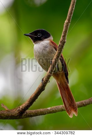 Seychelles Paradise Flycatcher - Terpsiphone Corvina Rare Bird From Terpsiphone Within The Family Mo