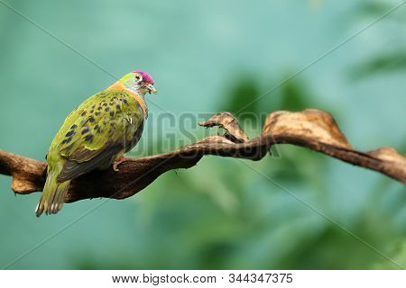 A Superb Fruit Dove (ptilinopus Superbus), Also Known As The Purple-crowned Fruit Dove Sitting On A