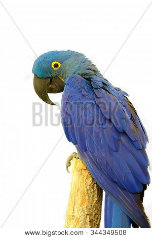 The Hyacinth Macaw (anodorhynchus Hyacinthinus), Or Hyacinthine Macaw Sitting On A Branch. Isolated