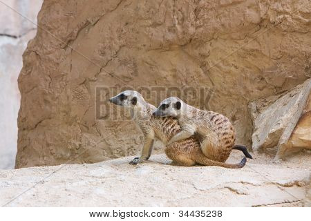 Naughty, funny and lovely meerkat
