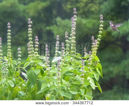 Sweet Basil With Flowers And Leaves In Garden On Green Background. Lemon Basil, Ocimum Basilicum Lin