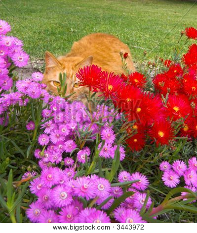 Gingercat Hiding Behind A Bed Of Flowers