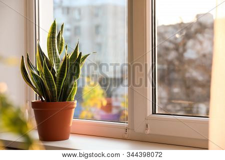 Potted Sansevieria Plant On Window Sill At Home. Space For Text