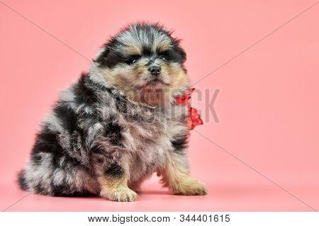 Pomeranian Spitz Puppy, Copy Space. Cute Fluffy Tri-colored Spitz Dog On Pink Background. Family-fri