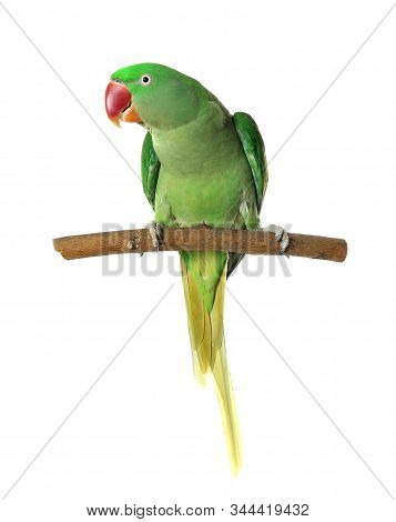 Beautiful Alexandrine Parakeet On Tree Branch Against White Background
