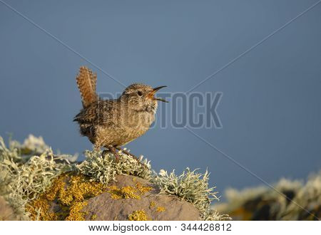 Shetland Wren (troglodytes Troglodytes Zetlandicus) Calling On A Mossy Stone Against Blue Sky, Shetl