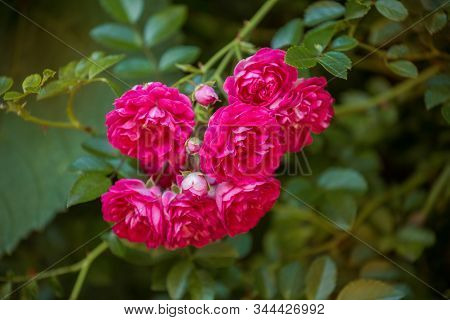 Close-up Of Branch Of Climbing Rose Of Old Variety Excelsa. Small Red Flowers On Background Of Green