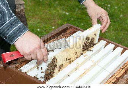 Beekeeper Removing The Top-bar Beehive