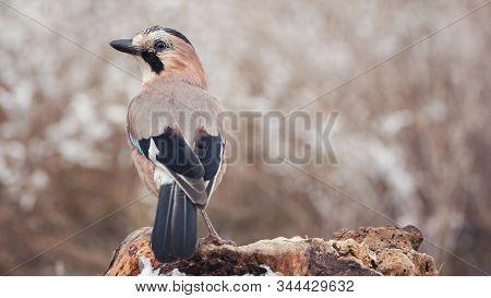 Eurasian Jay, Garrulus Glandarius, Sits On A Snow Snag On A Beautiful Background.