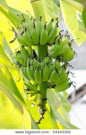 Bunch Bananas On Tree