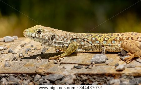 An Ocellated Lizard Is Landed And Sunbathe