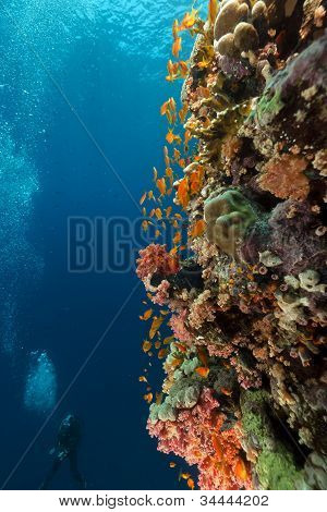 Tropical reef and diver in the Red Sea.