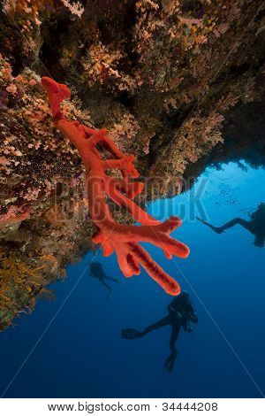 Red sponge and divers in the Red Sea.