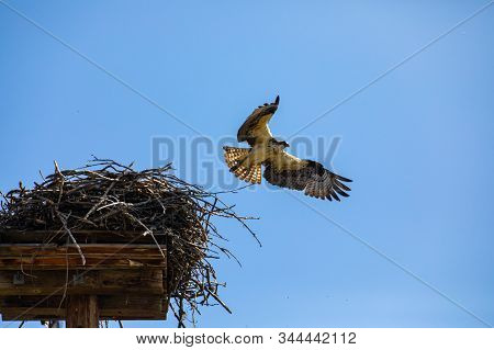 Low Angle Shot Of Eagle Flying Out Of Its Nest. Flight Of Osprey Or Fish Hawk Under The Blue Sky. Ok