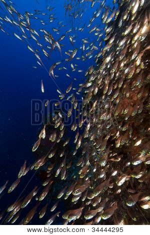 Golden sweepers in the Red Sea . poster