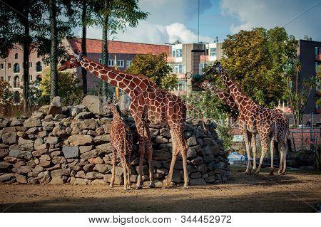 Amsterdam, Netherlands - October 3, 2016: Reticulated Giraffe Or Somali Giraffe (giraffa Cameloparda