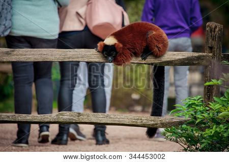 Amsterdam, Netherlands - October 3, 2016: A Red Ruffed Lemur (varecia Rubra) Sitting On A Fence At T
