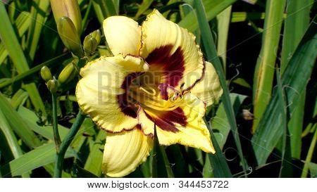 Large-flowered Sort El Desperado Of Yellow  Day-lily  In A Garden.  Yellow Hemerocallis Blooming Clo