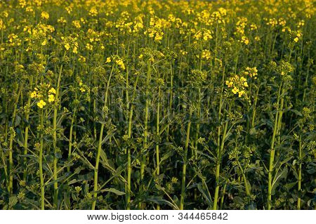 Yellow And Green Field Of Blooming Canola, View From Above. Brassica Napus. Brassicaceae. Common Nam