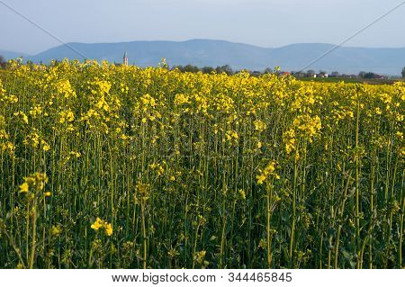Yellow And Green Field Of Blooming Canola On A Blue Sky And Mountains Background. Brassica Napus. Br