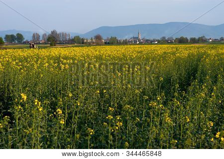 Yellow And Green Field Of Blooming Canola With Tractor And Church On A Blue Sky And Mountains Backgr