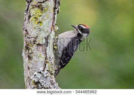 Juvenile Downy Woodpecker Perches On The Lichen Covered Trunk Of A Dead Tree In The Pacific Northwes