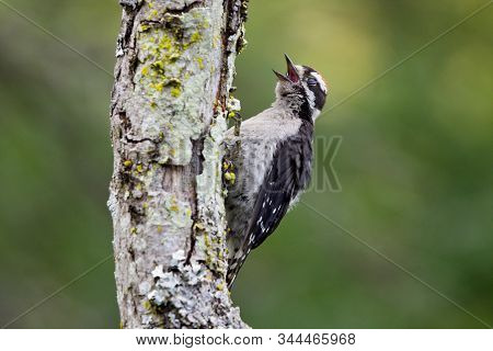 Juvenile Downy Woodpecker On Lichen Covered Tree Trunk With Open Beak And Closed Eyes, Blurred Green