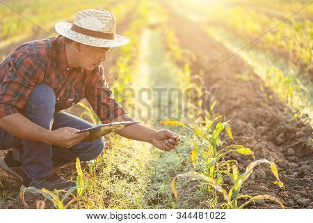 Asian Young Farmer Or Academic Working In The Field Of Young Corn Tree