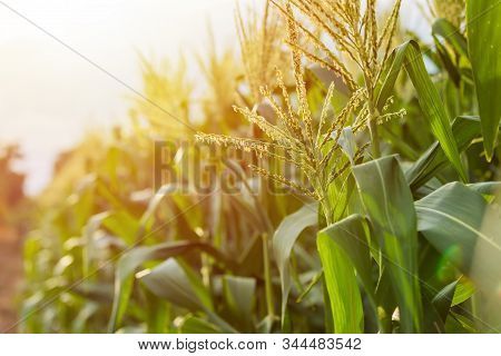 Green Corn Field, Row Of Corn Plantation In Thailand