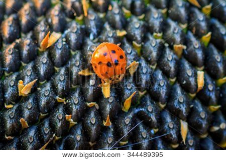 Bright Red Dotted Ladybug On Ripe Black Sunflower Seeds In A Farmers Field In Summer. Ladybug - Bug.