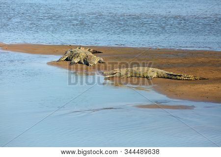 The Nile Crocodile (crocodylus Niloticus), Pair Of A Great Nile Crocodile In The Sand On The River B