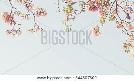Beautiful Pink Flower Look Likes Sakura Flower Or Cherry Blossom With Beautiful Nature Background .