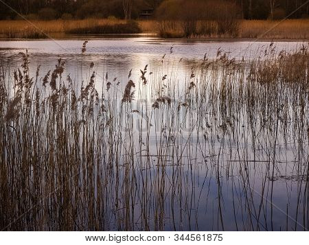 Reeds And Lake In Golden Afternoon Sunlight At Potteric Carr Nature Reserve, South Yorkshire, Englan