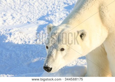 Polar bears in Churchill, Manitoba Canada attract thousands of visitors every year.  These wild animals attract adventure tour vacation seekers as they are the main attraction.