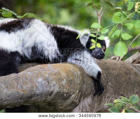 Cute small Ring-tailed lemur in the jungle