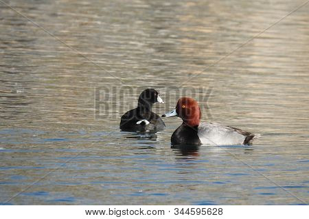 Redhead Duck And An American Coot, Swimming In A Lagoon, In Dead Horse Ranch State Park, In Cottonwo