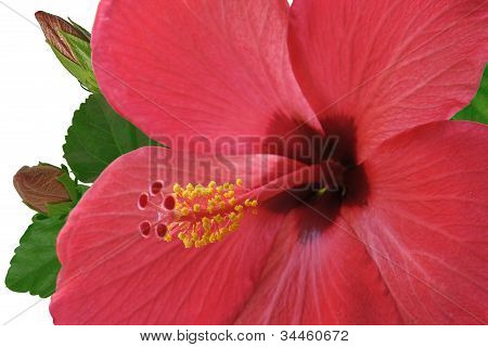 Flower Of Red Hibiscus With Two Buds On White