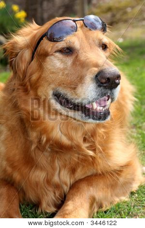 A handsome golden retriever sitting with a pair of sunglasses on his head poster