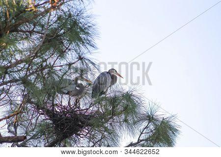 Blue Herons Nesting In A Tree