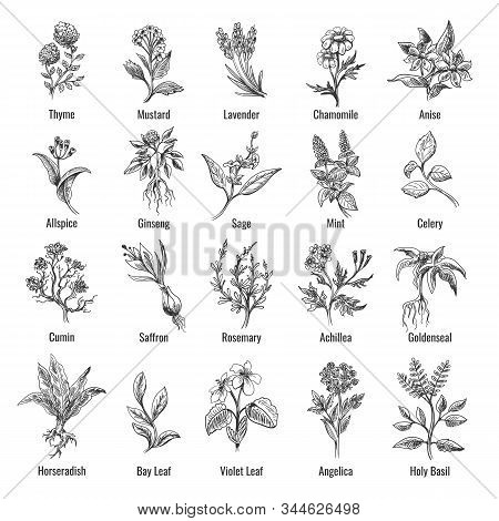 Botanical Herbs Sketch. Vintage Botanical Herb And Flower Hand Drawn Set, Botanic Wild Herbs Plants