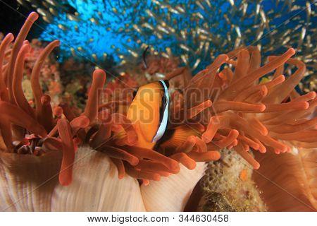 Clark's Anemonefish (Clownfish) fish in red anemone