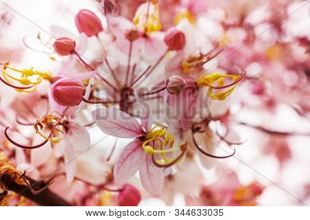 Cassia fistula tree blossom in spring season in the Hawaii, USA. Beautiful natural spring background.