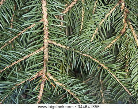 Pine Needles Background In Winter