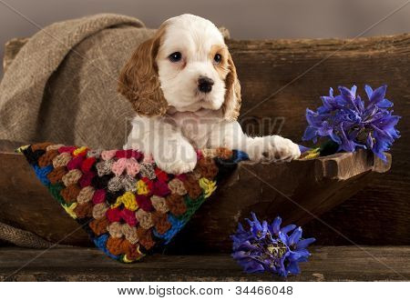 Cocker Spaniel puppy and flower red poster