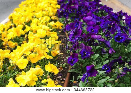 Flowerbed With Yellow And Purple Petunias Flowers. Petunia Closeup. Spring Flowerbed In City. Colorf